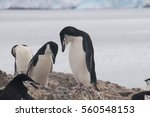 chinstrap penguins at hannah... | Shutterstock . vector #560548153