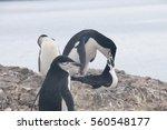 chinstrap penguins at hannah... | Shutterstock . vector #560548177