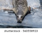Harbor Seal Ready To Slide Int...