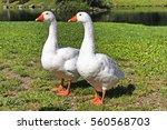 Two Curious Twin Goslings Near...