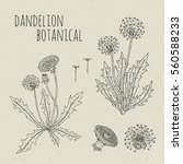 dandelion medical botanical... | Shutterstock .eps vector #560588233