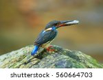 Small photo of Beautiful of Male of Blue-banded Kingfisher ( Alcedo euryzona ) , Standing on the rock, showing it side profile, in nature of Thailand