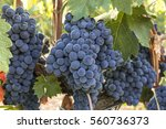 a vibrant photo of wine grapes... | Shutterstock . vector #560736373