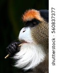Detail Of De Brazza's Monkey  ...