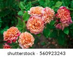 Stock photo blooming in the garden rose aloha 560923243