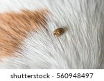 tick on a dog skin | Shutterstock . vector #560948497