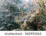 Small photo of Frozen American holly