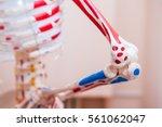 Close Up Human Skeleton Cubit...