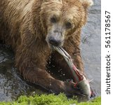 Small photo of Alaskan Brown Bear (Ursus arctos)