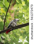 Small photo of African Gray Parrot On Branch