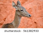Small photo of Cervus eldi , Rucervus eldii , Eld deer