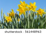 Bright Vivid Yellow Daffodils...