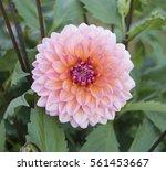 close up of pink chrysanthemum... | Shutterstock . vector #561453667