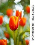 Orange Tulips In The Garden.