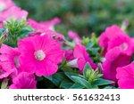 Beautiful Pink Petunias ...