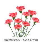 The Pink Flowering Carnations