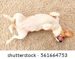 dog rest on carpet on his back. ... | Shutterstock . vector #561664753