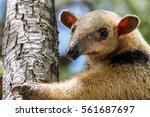 close up of a southern tamandua ... | Shutterstock . vector #561687697