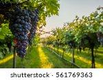grape harvest  | Shutterstock . vector #561769363