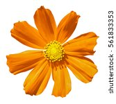 orange primula flower macro... | Shutterstock . vector #561833353