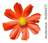 Red Primula Flower Macro...