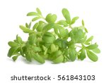 cress bunch isolated on white... | Shutterstock . vector #561843103
