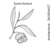 sweet chestnut  castanea sativa ... | Shutterstock .eps vector #561856627