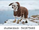 dog fashion concept. chinese... | Shutterstock . vector #561875683