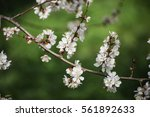 apricot tree flower with buds... | Shutterstock . vector #561892633