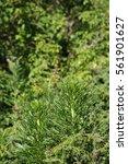 Small photo of Leaf of aconite or wolfsbane, Aconitum napellus
