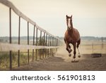 Stock photo beautiful horse running in the stable 561901813