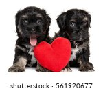 Stock photo two cute valentine havanese puppies sitting together with a red heart isolated on white background 561920677