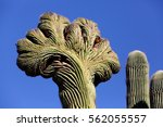 Small photo of A Crested Saguaro cactus, growing in the Sonoran desert of Arizona. The cause of this rare aberration is unknown, but speculation of a genetic abnormality, lightning strikes, or disease are suspected.