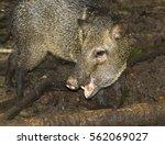 the collared peccary  pecari... | Shutterstock . vector #562069027
