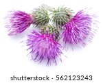 Milk Thistle  Silybum  Flowers...