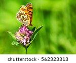 Stock photo closeup butterfly on flower butterfly and flower butterfly on a flower blurry background butterfly 562323313