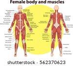 vector illustration of  body... | Shutterstock .eps vector #562370623
