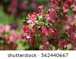 flowering cherry. pink sakura... | Shutterstock . vector #562440667