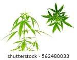 marijuana white background... | Shutterstock . vector #562480033