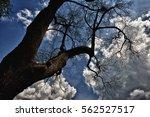 leafless shedding trees flora... | Shutterstock . vector #562527517