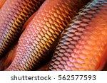 fresh fish silver red snapper... | Shutterstock . vector #562577593