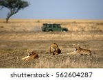 Lion And Lionesses  In The...