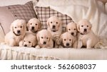 Stock photo a lot of cute little golden retriever puppy sitting together 562608037
