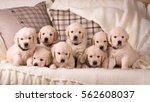 a lot of cute little golden... | Shutterstock . vector #562608037