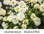 Stock photo white roses 562612963