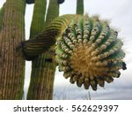 close up of a large saguaro... | Shutterstock . vector #562629397