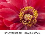 Close Up Of A Red Peony Flower...