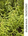 Small photo of Aloysia citrodora. Common names include lemon verbena and lemon beebrush.