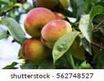Ripe Peach Hanging On The...