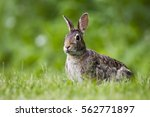 Stock photo cottontail rabbit 562771897